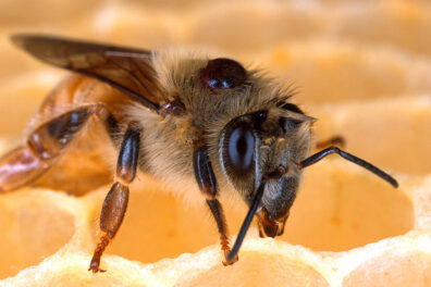 Close up of honey bee on a honeycomb with mites on its back