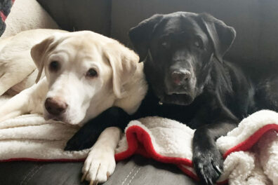 A golden lab seated next to a black lab