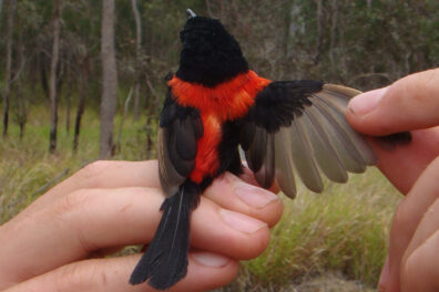 A small bird, black with a red T down its back, perched on someone's hand.