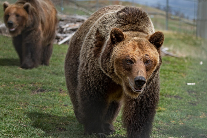 Grizzly bears walking through an outdoor habitat at the WSU Bear Center.
