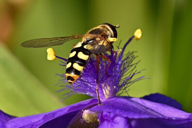 Closeup of a yellow and black striped syrphid fly on a purple flower.