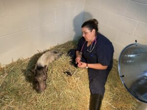 Potbellied pig has basketball-sized tumor removed
