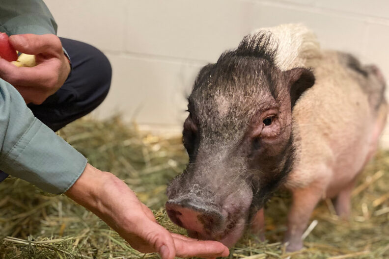 A closeup of someone's hand feeding a potbellied pig an apple.