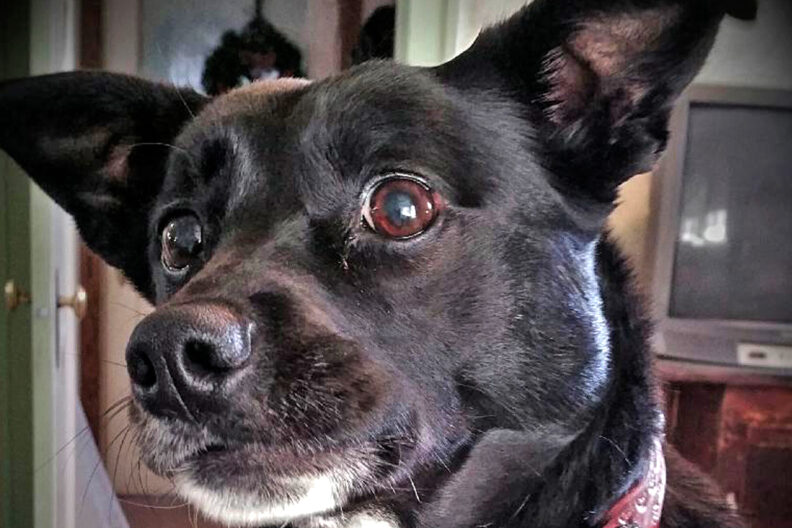 Closeup of Kooshie, a mixed-breed terrier.