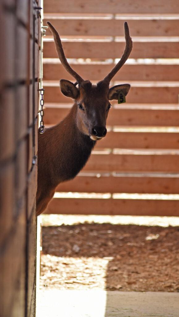 An elk looking around the corner of a pen.