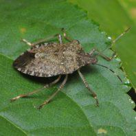 brown stink bug on leaf