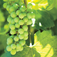 A closeup of green grapes growing