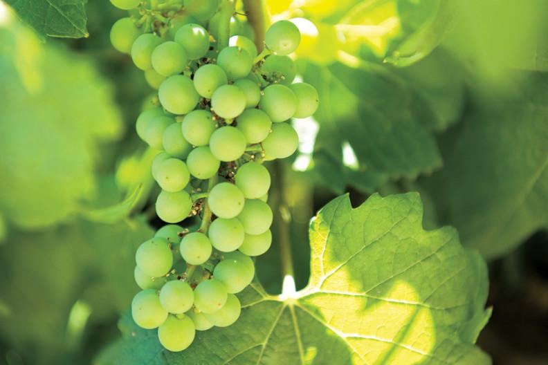A closeup of green grapes growing