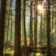 Hardwood forrest at sunrise