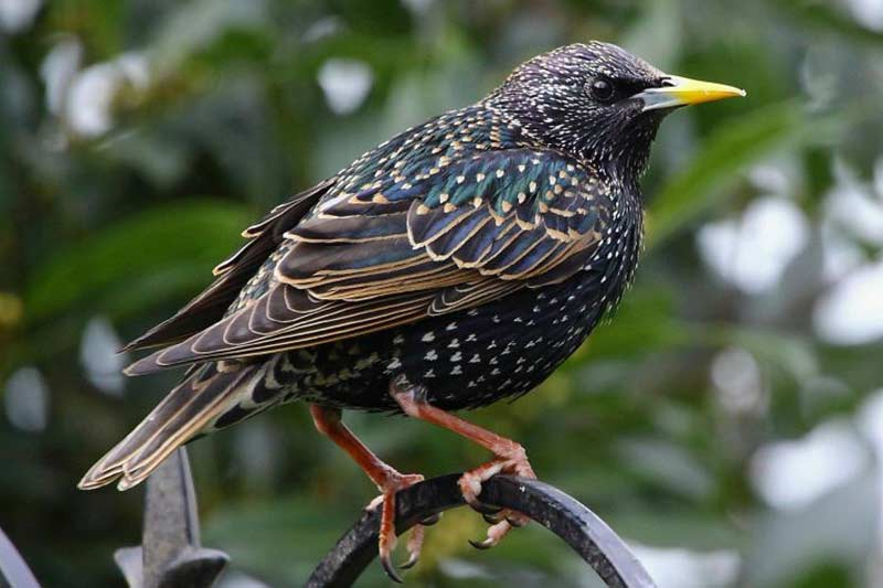A close up of a starling