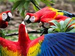 Brightly colored scarlet macaws are native to the tropics. So how'd they end up in New Mexico? (Flickr/Nina Hale in Smithsonian Magazine).