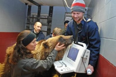 A woman and two men tend a groggy-looking bear next to an electronic screen displaying sensory information.