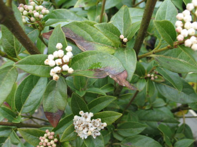 Foliar blight on Viburnum caused by P. ramorum