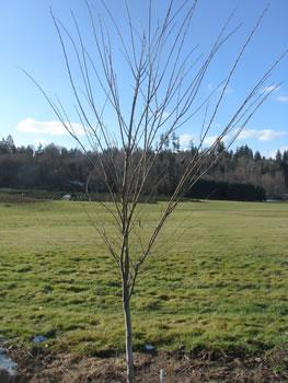 Tree with no ice damage