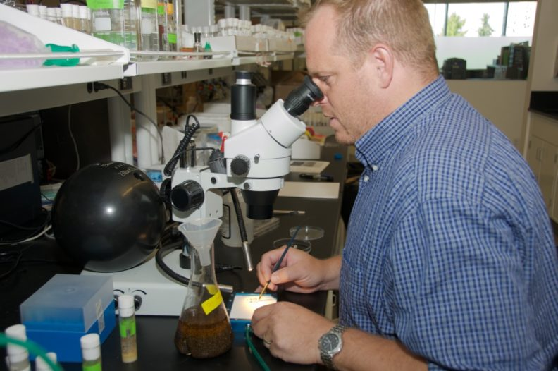 Research Assistant Professor Jason Gerstner looks at fruit flies through a microscope in his lab.