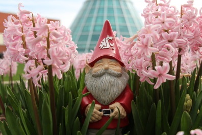 Gnome in pink hyacinths in front of library tower