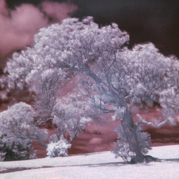 Although they don't see as we do, plants perceive their environment in the red and far-red end of the light spectrum. If we saw things in the far-red spectrum, it would be similar to this infrared photograph. Daniel Schwen