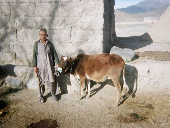 A young man stands with his cow in the providence of Laghman.