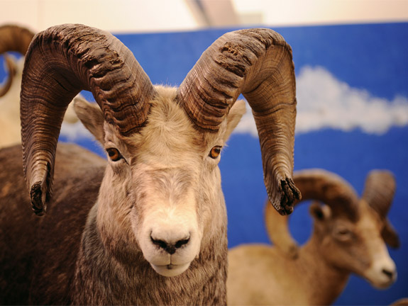 Display mount of a bighorn sheep at Conner Museum.