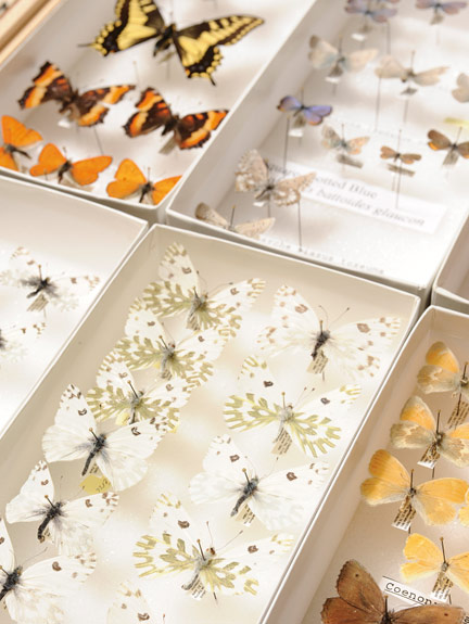 Insects collected by Rich Zack and colleagues at the Hanford Nuclear Site--Becker's White butterfly.