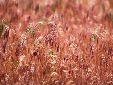 Cheatgrass at the Hanford Reach National Monument. Daniel Mosquin
