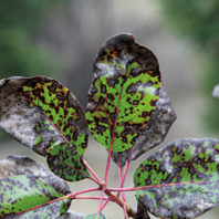 Madrone leaf blight