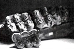 Mastodon tooth showing 'wear'.
