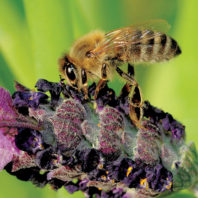 New World Carniolan bee on lavender
