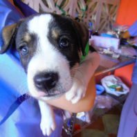 Chancho, a puppy treated by World Vets in Nicaragua