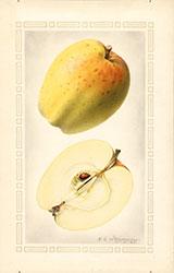 Yellow Bellflower, by Royal Charles Steadman.
