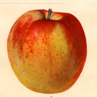 heirloom apple