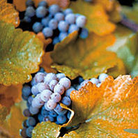 Concord grapes—primarily a Vitus labrusca (fox grape) cultivar. Courtesy NGWI