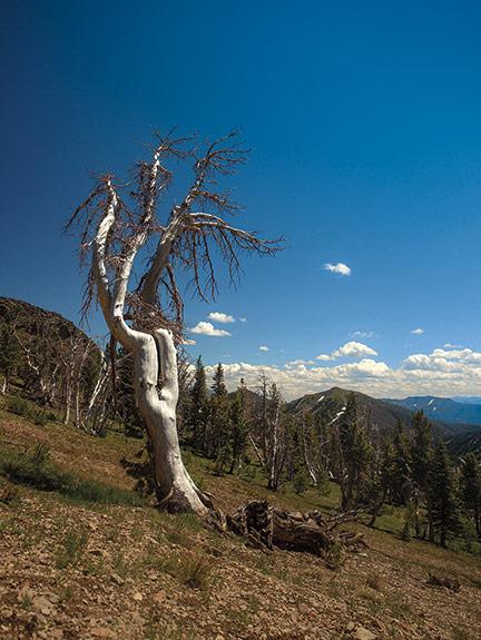 Dead whitebark pine