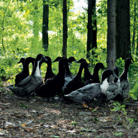 Ducks in the woods. Photo Jen Gabriel