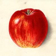 Jonathan apple - NW apples thumb