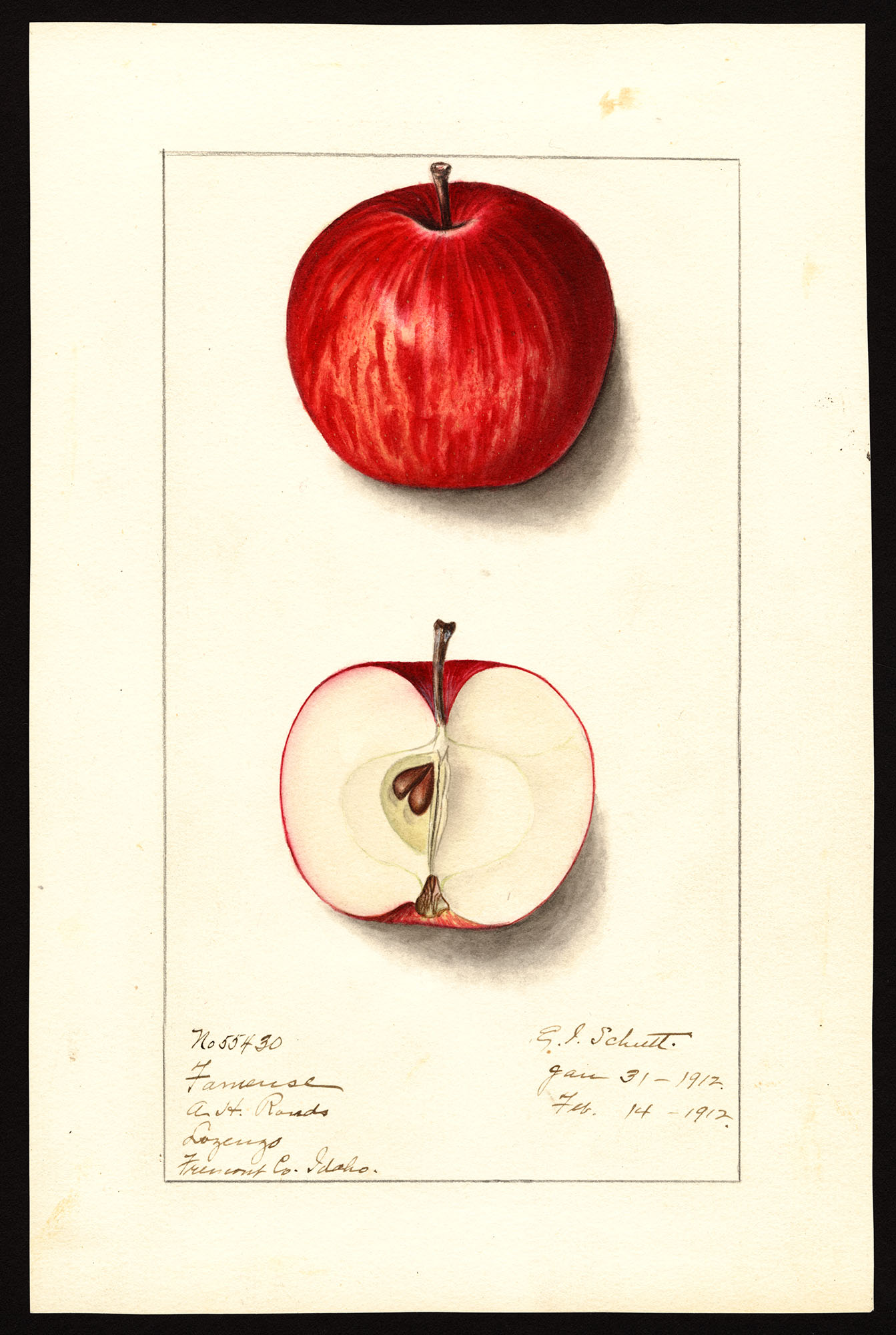 Fameuse (Snow Apple)