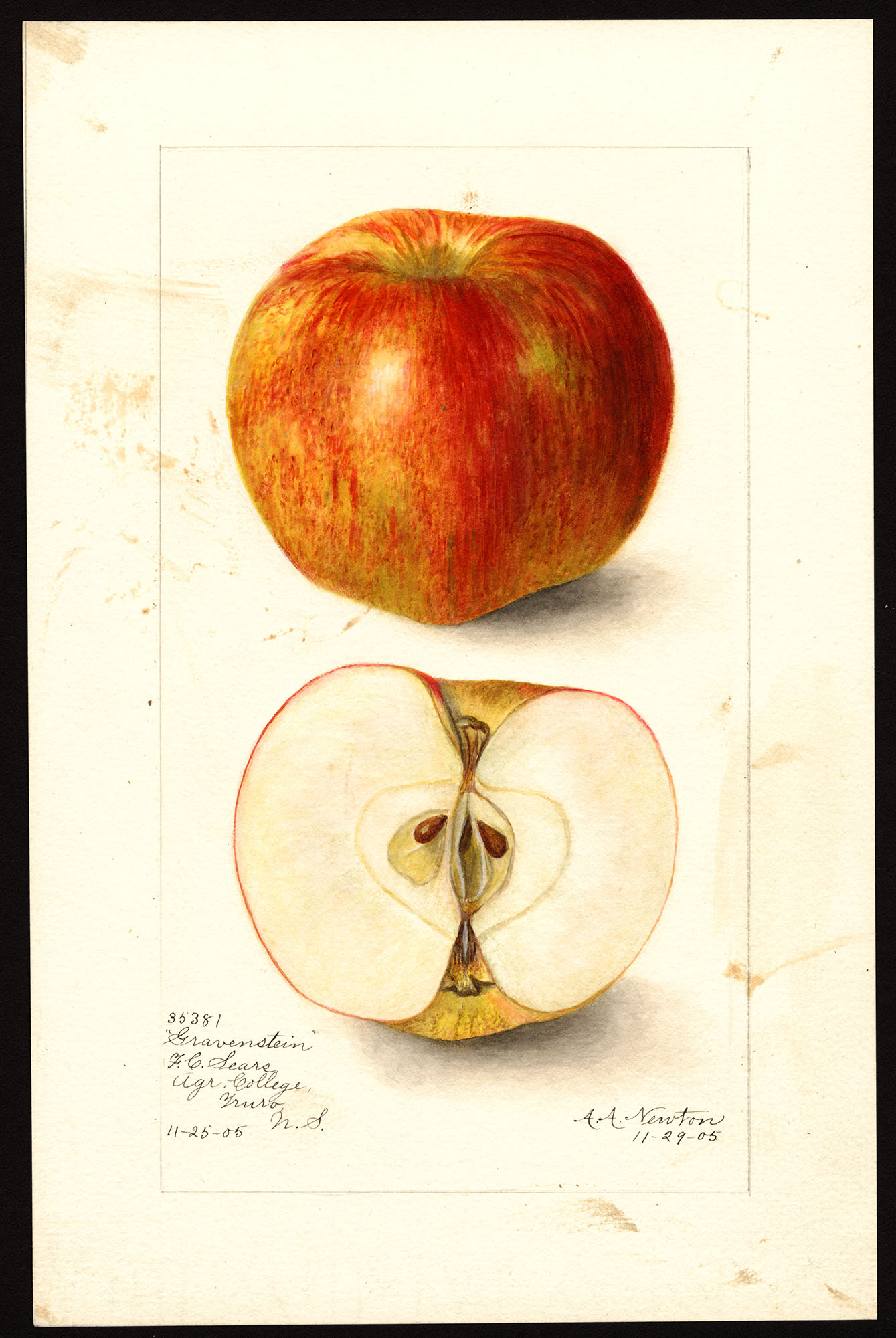 Gallery: Old-time Apple Varieties in the Northwest ...