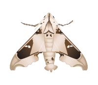 Madoryx oiclus