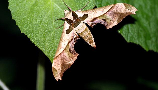 Adhemarius dariensis moth