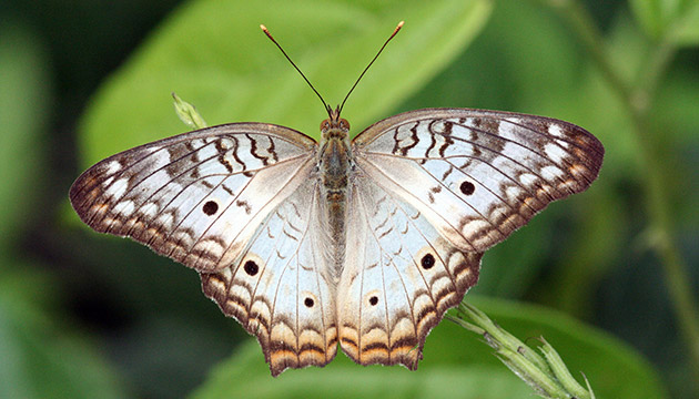 Anartia jatrophae (white peacock butterfly)