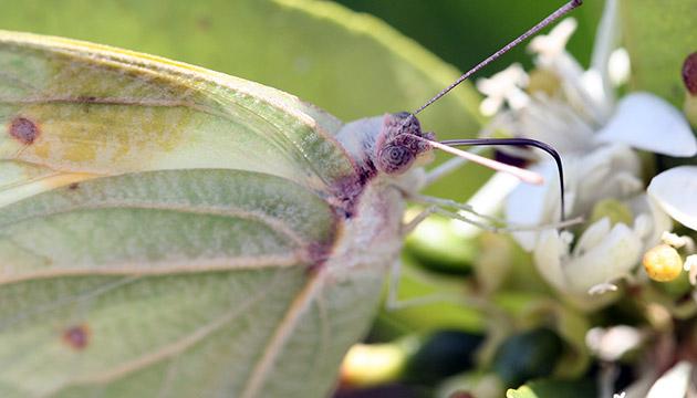 Minnesota Seasons - hoverfly (Helophilus fasciatus)