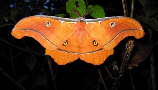 Antheraea godmani moth