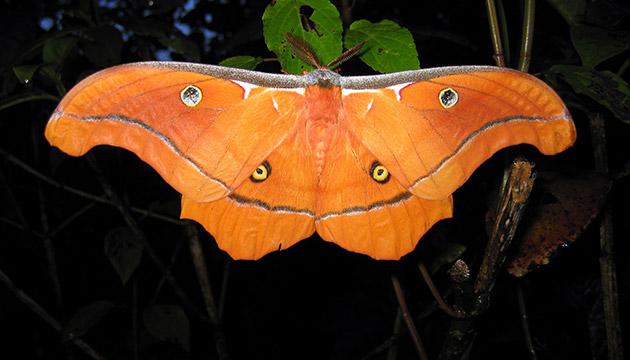 Antheraea godmani moth