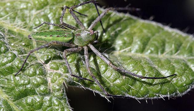 Araña (spider) in Quiché