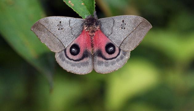 Automeris escalantei moth