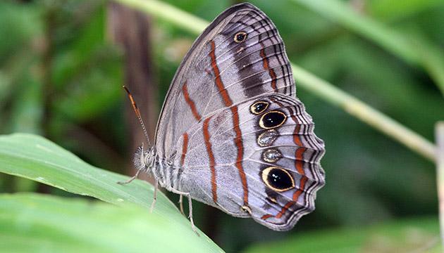 Cissia libye butterfly