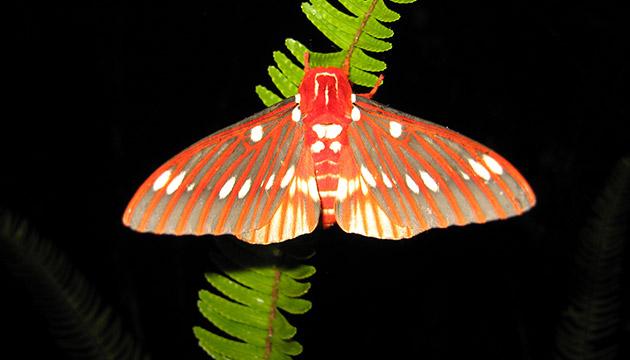 Citheronia azteca moth