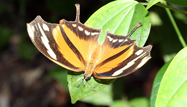 onsul fabius (tiger leafwing butterfly) in Yaxhá