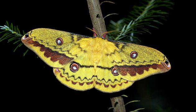 Copaxa lavendera moth