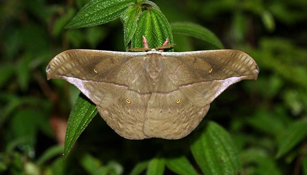 Copaxa rufinans moth